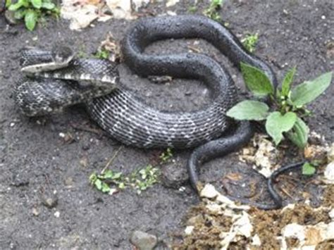 grey diamond pattern snake black snake or cottonmouth moccasin blog mary reid