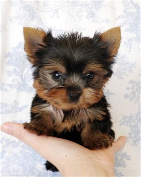 teacup yorkie puppies for sale 1000 ideas about teacup puppies for sale on