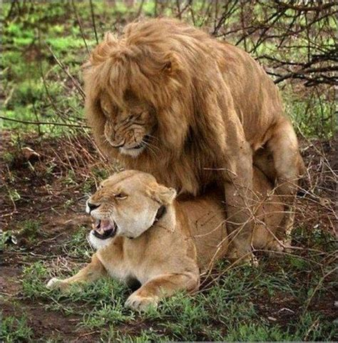Lion Sex Meme - lions having sex blank template imgflip