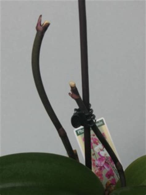 Wie Pflegt Orchideen Richtig 4793 by Orchideen Schneiden Nach Der Bl 252 Te