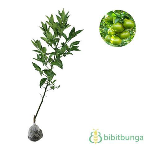 Bibit Jeruk Santang Madu Hijau tanaman jeruk lemon impor bibitbunga