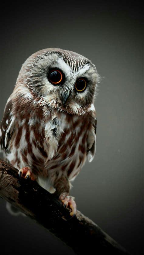wallpaper cute owl hd a cute owl mobile hd wallpaper vactual papers