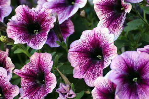 petunia fiore petunia fiore per un nascosto