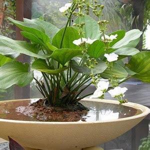 Pot Tanaman Dan Bunga Panjang Sgp jenis tanaman air yang mudah didapat menanam tanaman