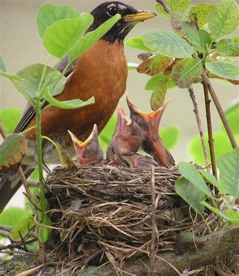 wild birds unlimited american robin nest in a yard