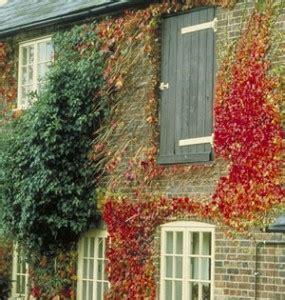 house climbing plants do climbing plants like damage walls never paint