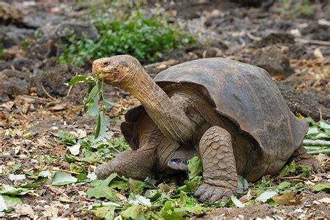 extinct breeds extinct species of galapagos tortoise may be resurrected new scientist