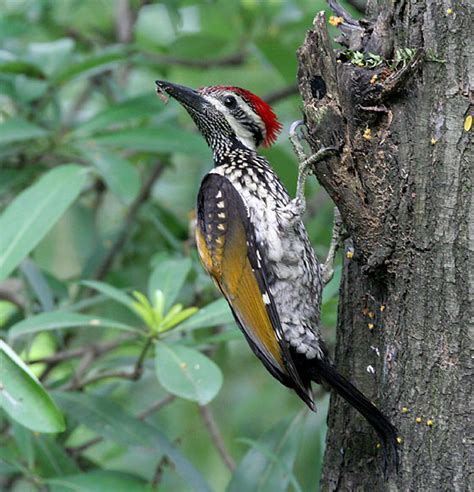woodpecker simple english wikipedia the free encyclopedia