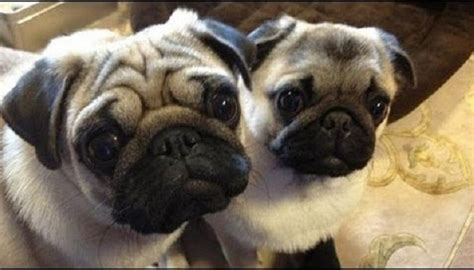 how much is a baby pug this with baby pug when you see how how much they