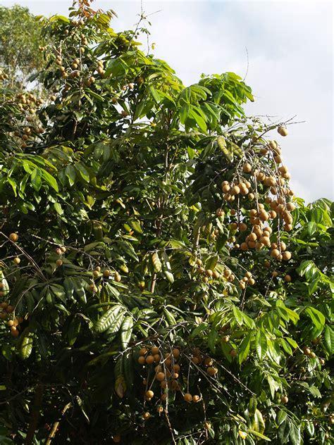 50 fruit tree longan trees 50mm pots fruit tree