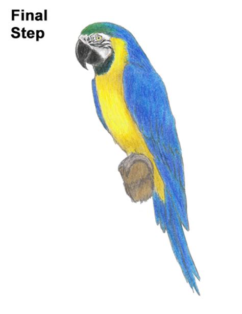 Blue And Gold Macaw Drawing how to draw a blue and yellow macaw