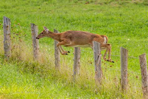 jumping fence white tailed deer jumping fence outdoor photographer