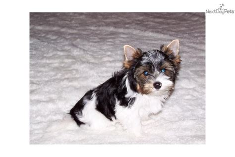 yorkie puppies for sale in wichita ks terrier yorkie puppy for sale near wichita kansas bed4a9cc f031