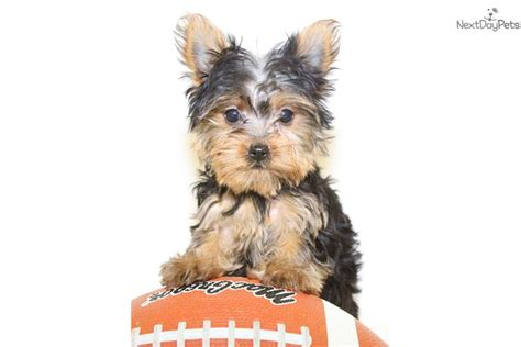 yorkie puppies for 200 or less terrier yorkie puppy for sale near columbus ohio 0b907b3f 9151