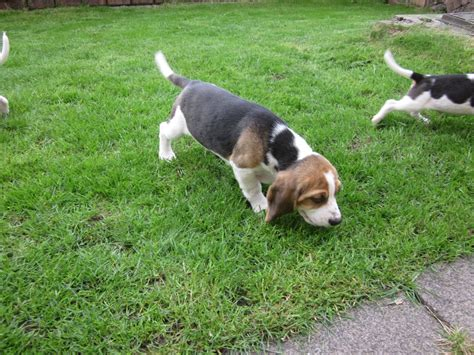 beagle for sale beagle puppies for sale maesteg bridgend pets4homes
