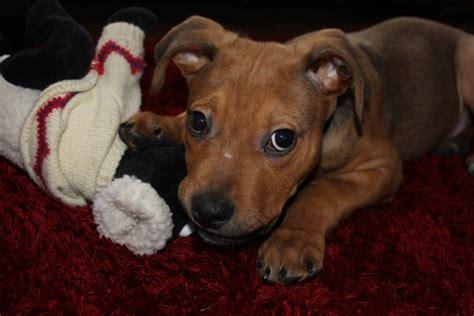 staffordshire bull terrier rottweiler cross dogpages forums gt alfie 10 week staffordshire bull terrier cross rottweiler