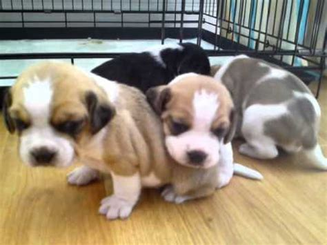 frengle puppies frengle puppies for sale