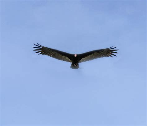 turkey vulture flying toward you photograph by william bitman