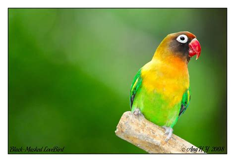 treknature black masked lovebird photo