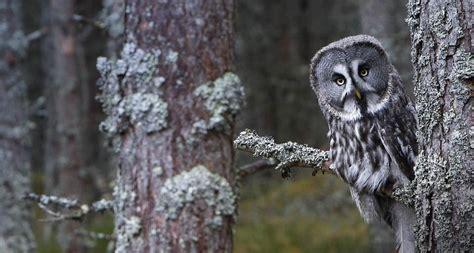 grey owl wallpaper bing wallpaper archive
