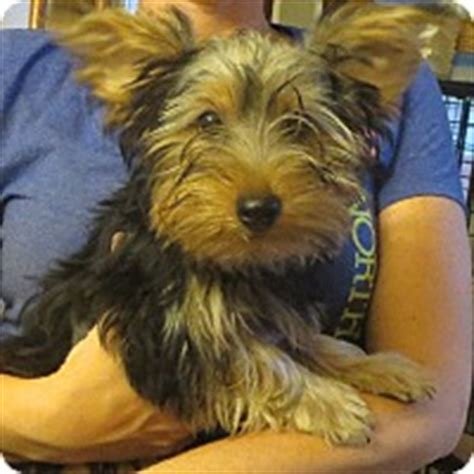 yorkie rochester ny rochester ny yorkie terrier meet ralph a puppy for adoption