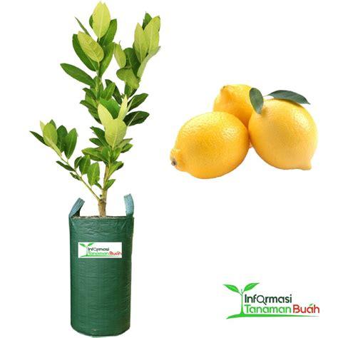 Bibit Unggul Lemon Tea tabulot lemon teknik menanam tanaman buah lemon dalam