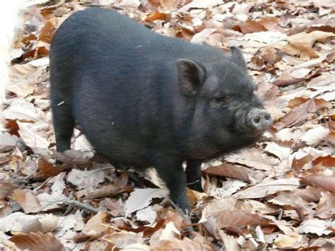 pot belly pig makin bacon pinterest nice we