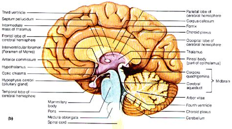 midsagittal section of the brain diagram cerebrum sagittal section google search human