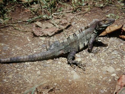 costa rica turisti per caso reserva biologica carara l iguana viaggi vacanze e