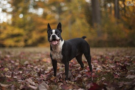 types of dogs and their personalities 3 small breeds of with big personalities pets4homes