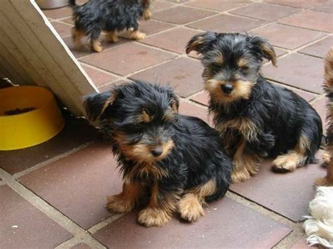 yorkie puppies orlando awesome t cup yorkie puppies for adoption text us at 248 587 7254 theflyer