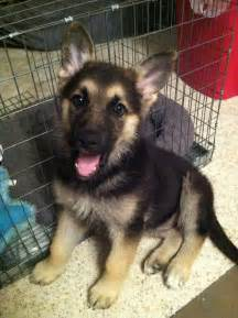 adorable german shepherd puppy adorable german shepherd puppy