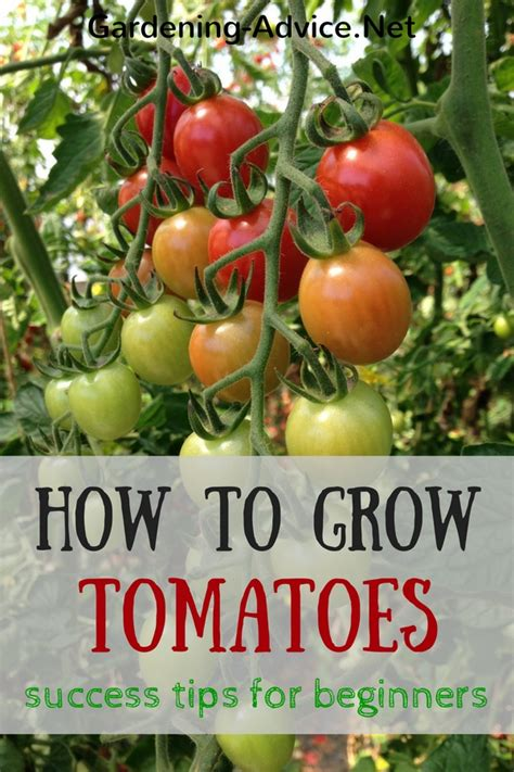 tomato growing tips for beginners