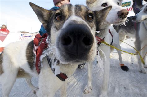 how do mushers their dogs for the iditarod breeds of the iditarod gray line alaska