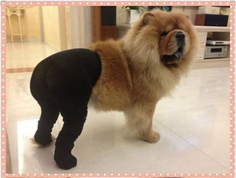 dogs in tights 25 best ideas about on pictures obama