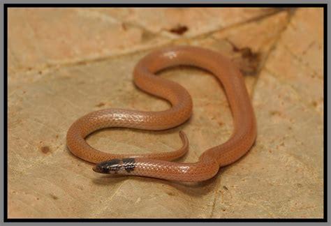 florida backyard snakes crowned snakes four of five florida species florida