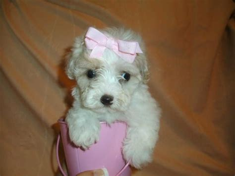 maltipoo puppies rescue san carlos quotes