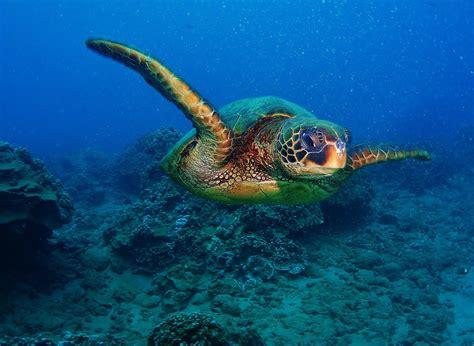 Turtle Sea quotes about sea turtles quotesgram