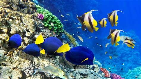 coral reef  colorful fishes  ultrahd wallpaper