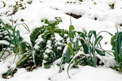 Growing Leeks Bonnie Plants Winter Vegetable Garden Plants