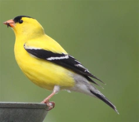 yellow finch tattoo pictures to pin on pinterest