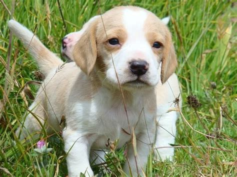 lemon beagle puppies 25 best ideas about lemon beagle on beagle puppy beagle puppies and