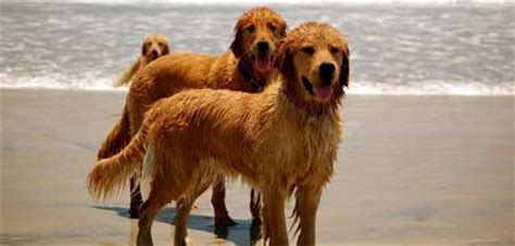field line golden retriever what s in a name the golden retriever to retrieve retrieving