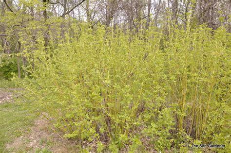 Full Sun Flowering Shrub - cornus alba buds yellow the site gardener