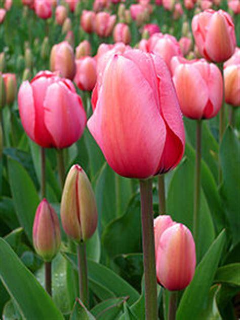 Biji Bunga Peony Biru badriyatus sholihah tulip family liliaceae