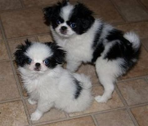japanese chin puppies for sale wonderful looking japanese chin puppies for sale dogs puppies
