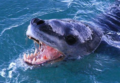 leopard seal teeth | flickr photo sharing!