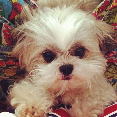 most popular shih tzu names 70 most popular shih tzu names