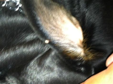 bumps in dogs ears white bump on inner edge of my s ear