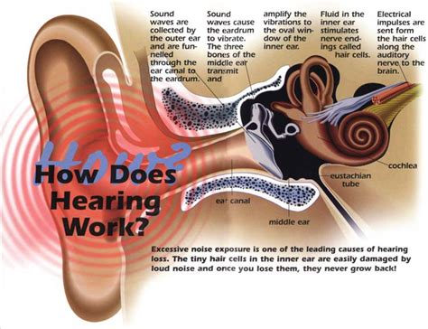 hearing diagram how your hearing works and why exposure to noise levels